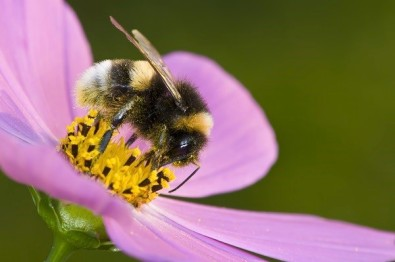bumble_bee_pink_flower
